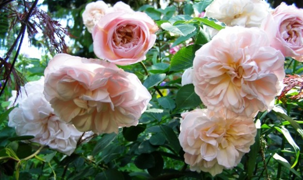 Roses need considerable intervention to stay lush through summer