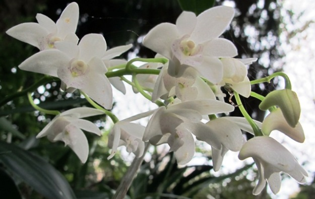 Referred to here as the Aussie dendrobes - dendrobiums