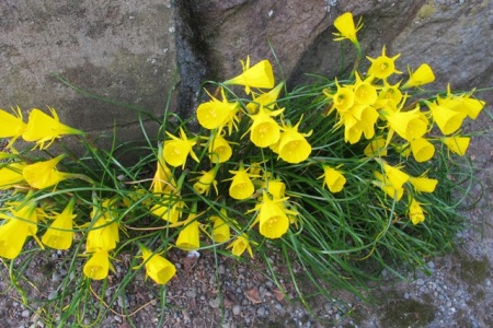 Narcissus bulbocodium - one of the last to flower here