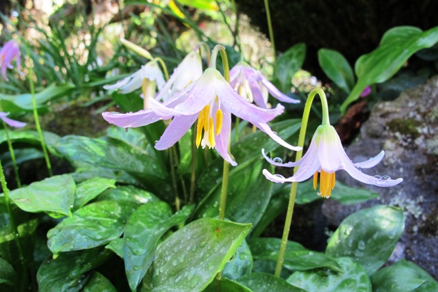 The transient delight of dogs tooth violets - Erythronium revolutum
