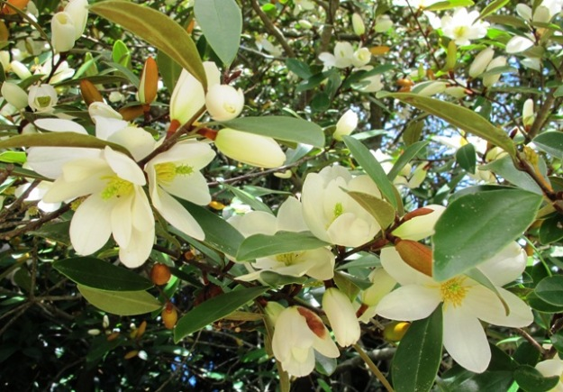 Now renamed Magnolia laevifolia