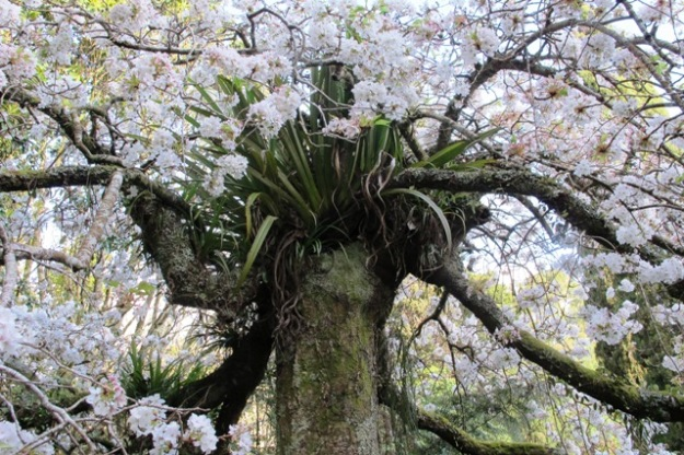 Prunus x yedoensis 'Ivensii'