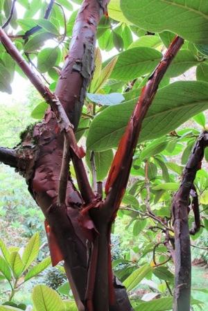 Wonderful peeling bark and bullate foliage