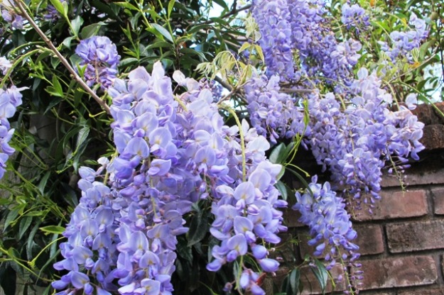 Blue Sapphire - a classic blue sinenis wisteria