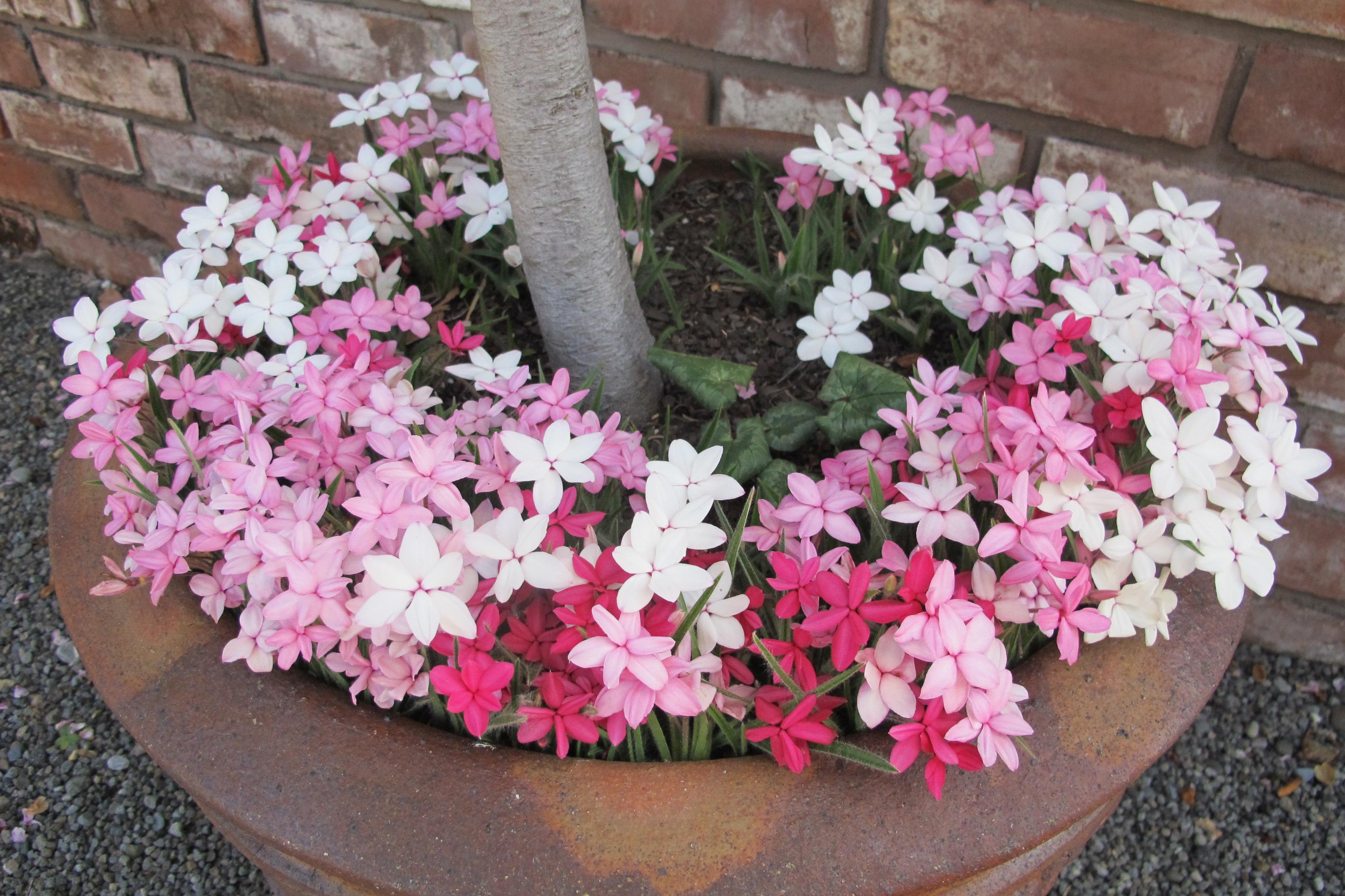 Pretty little rhodohypoxis - Ruth (white), Susan (pink), Albrighton (dark)