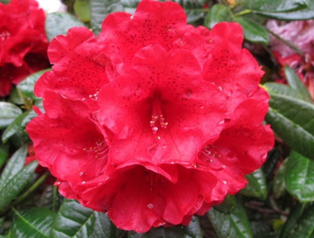 Rhododendron Rubicon - in our opinion, the best big red in the country.