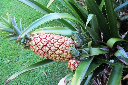 Ananas sagenaria - hardier than a tropical pineapple