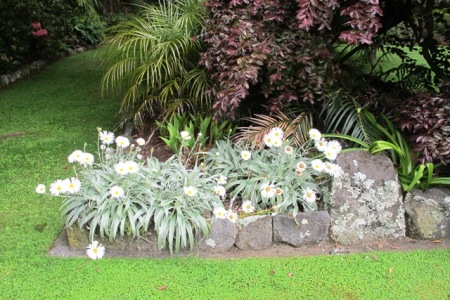 Celmisias - New Zealand's mountain daisies