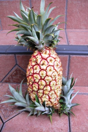 Bragging rights on the home grown pineapple