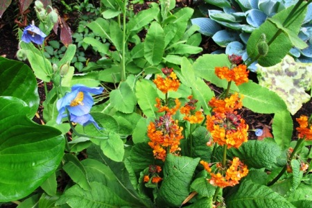 The cold border in the park with meconopsis and Inshriach primulas