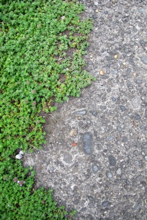 Aged concrete softened at the edge with prostrate thyme