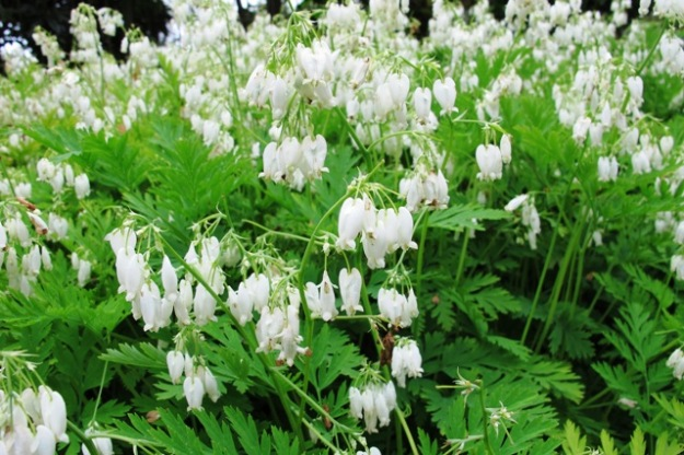 Dicentra eximia alba - a modest little plant for semi shade areas