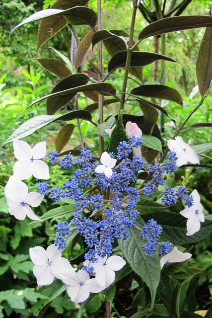Hydrangea indochinenis - an evergreen lacecap