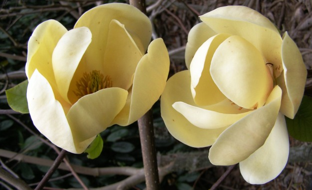 Magnolia (deciduous) Honey Tulip