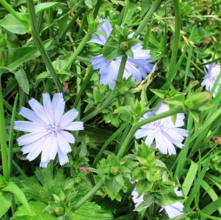 The simplicity of chicory