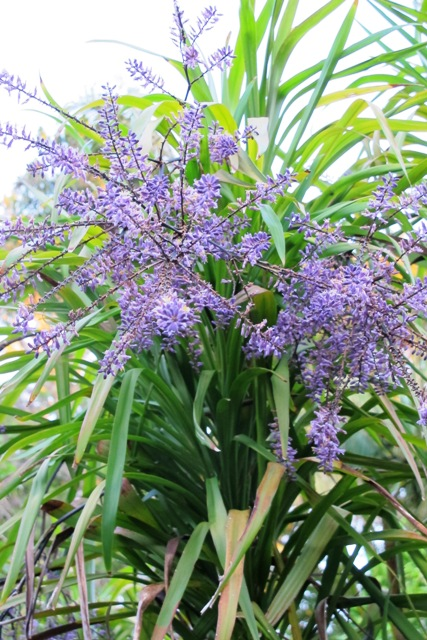 Cordyline stricta - blue flowers but no scent