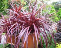 Cordyline Red Fountain - Copy