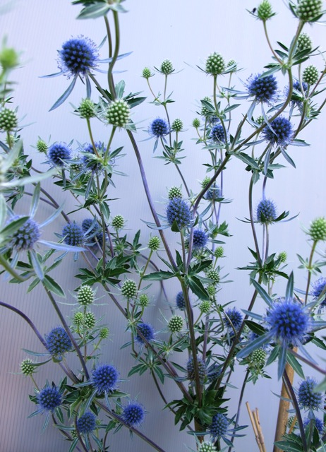 The hazy blue of Eryngium planum