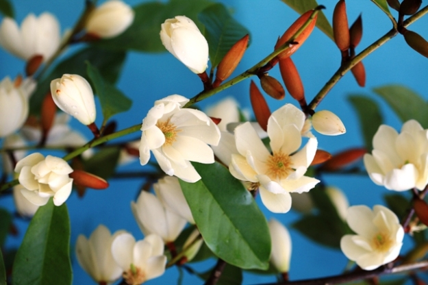 Fairy Magnolia Cream - many flowers over a long season
