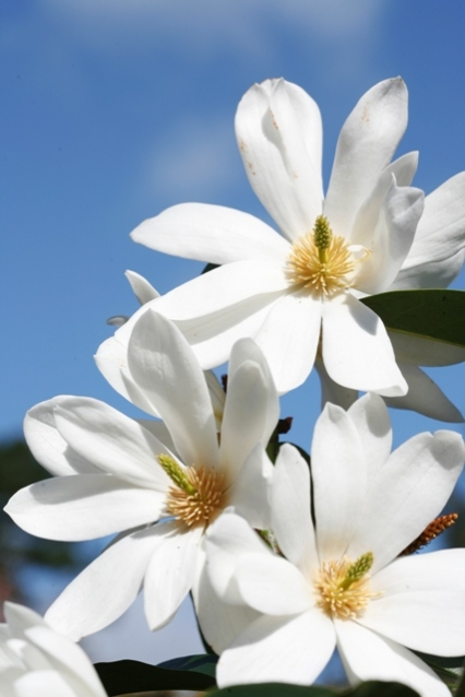 The sublime blooms on Fairy Magnolia® White