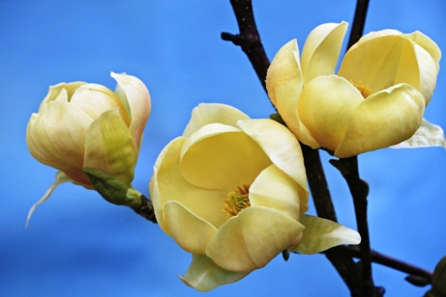 Magnolia Honey Tulip, our new yellow version of Black Tulip