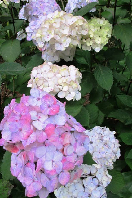 "Hydrangea ""Preziosa"" - generally colour stable in all soil conditions."