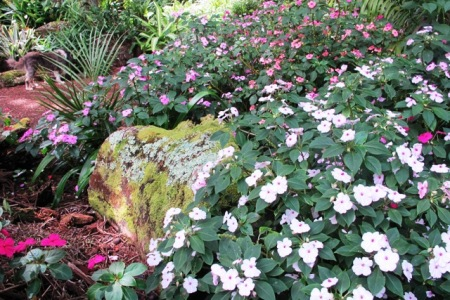 Happy and easy care perennial impatiens