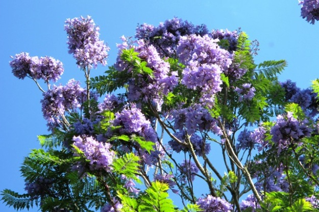 The summer delight of the jacaranda