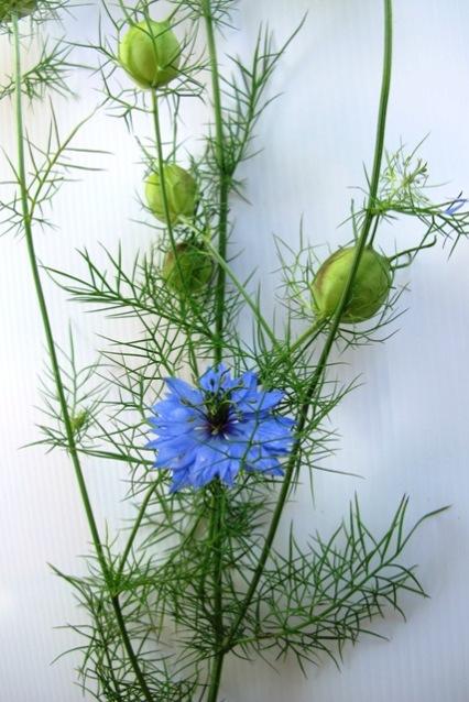 Nigella damascena - a personal favourite