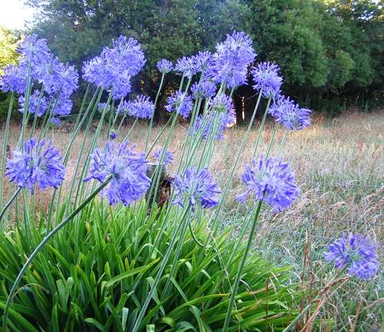 Weeds maybe, but pretty on summer roadsides - agapanthus
