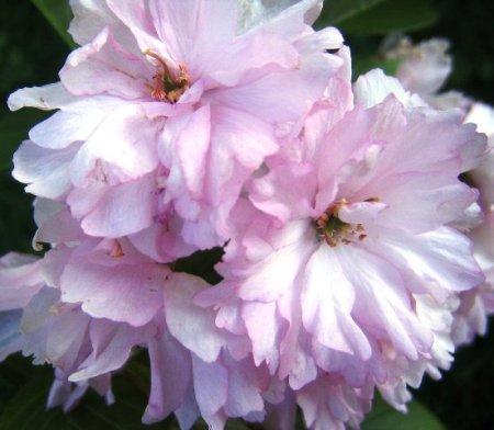 Every garden had Prunus Kanzan