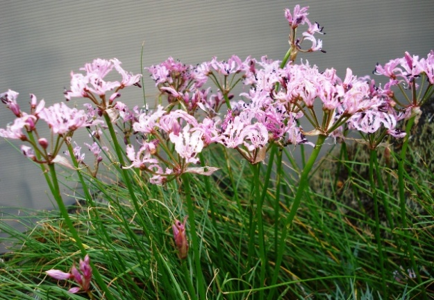 The daintiest of nerines - N. filifolia