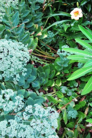 Sedum, left to its own devices and falling apart already