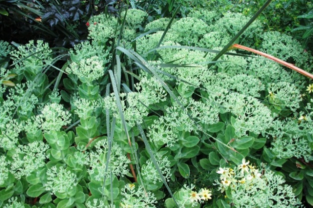 Sedum, cut back last November and holding itself well. Flowering is unaffected