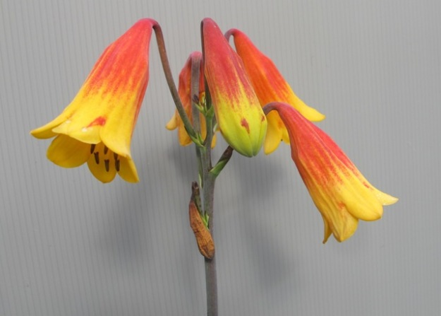 blandfordia (2) - Copy