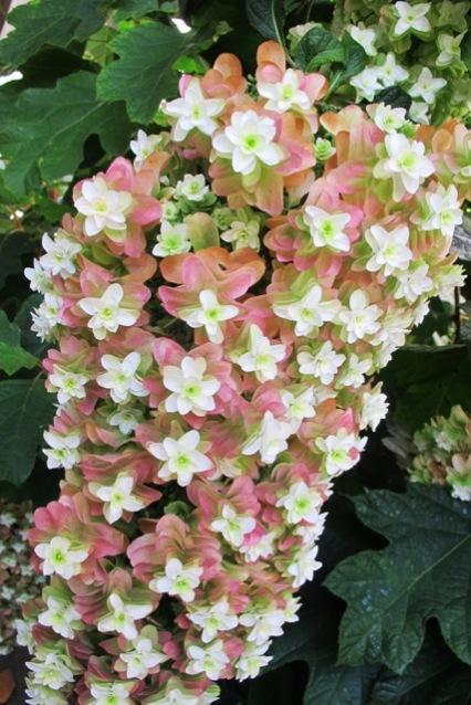 "Hydrangea quercifolia ""Snowflake"""