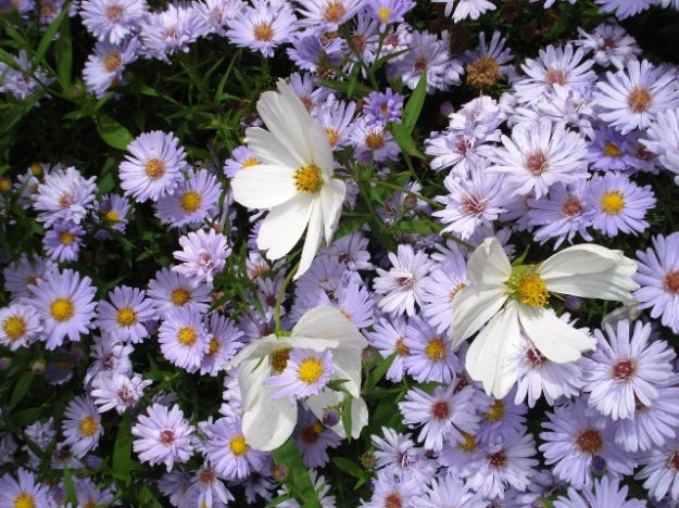 Single flowers like the white cosmos and semi doubles like the aster provide pollen and nectar