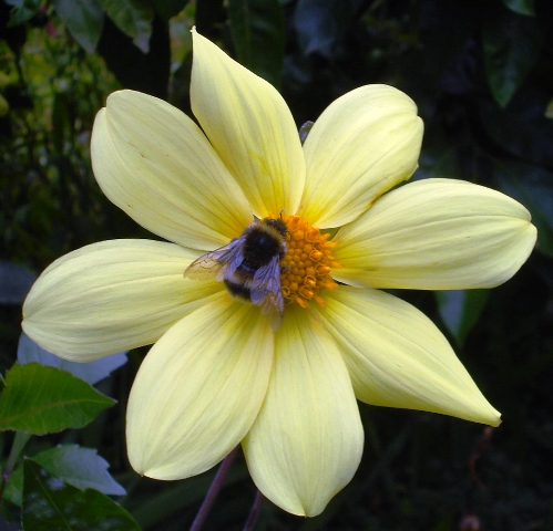Single and semi double blooms offer the most to both bees and butterflies