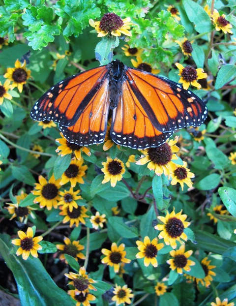Monarchs, the most rewarding common butterfly on offer in this country