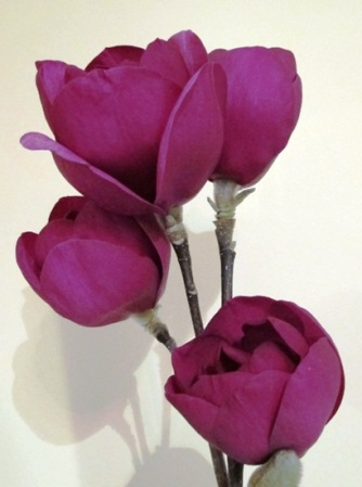 Black Tulip - good form, solid, dark colour and heavy petals