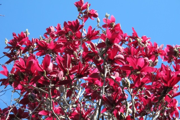 Magnolia Burgundy Star - as yet unproven overseas but we are hopeful it may prove hardy and keep good flower colour