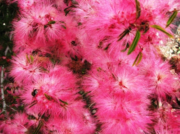 Calliandra (probably eriophylla) - like a strawberry pink starburst