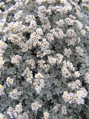 Helichrysum Silver Cushion - happy in dry conditions, attractive, tidy and it's even a native