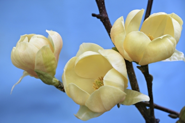 Magnolia Honey Tulip™ is a soft golden version of M. Black Tulip® scheduled for release in 2013. The rounded flower form and heavy textured petals appear to be an advance in the yellow magnolias. (photo by Sally Tagg)