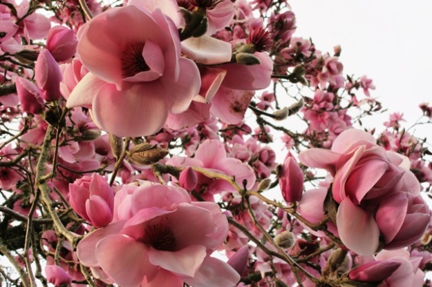 Magnolia 'Iolanthe' is one of our star performers here and has achieved considerable stature after 50 years. It has necessitated relocating the vegetable garden