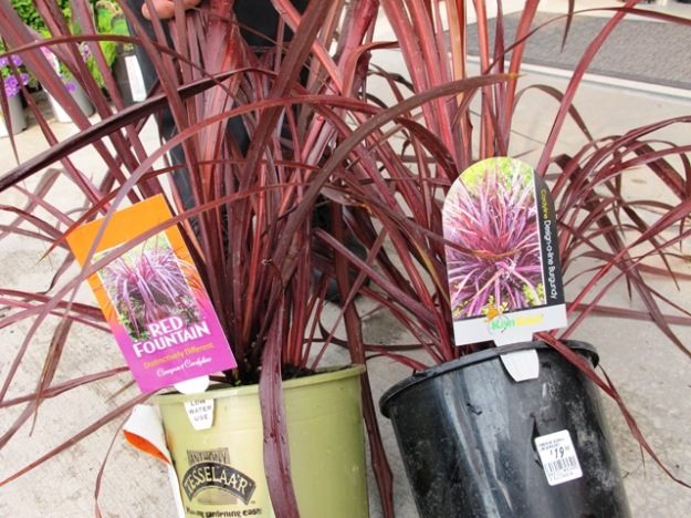 Cordyline Red Fountain (ours) and Cordyline Design-A-Line Burgundy - identical DNA