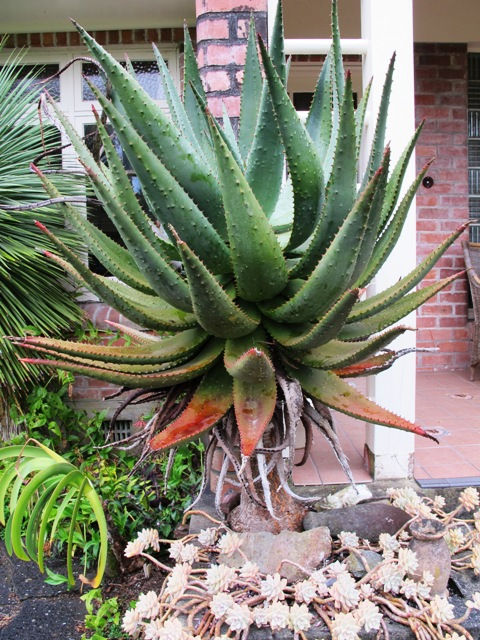 Aloe ferox - now a distinct hazard at the base of our fire escape