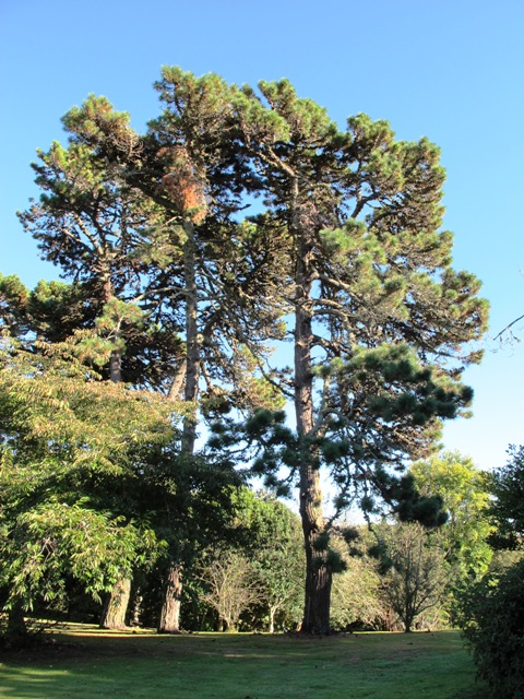 Pinus muricata, lesser known here and probably the same age as the radiata pines