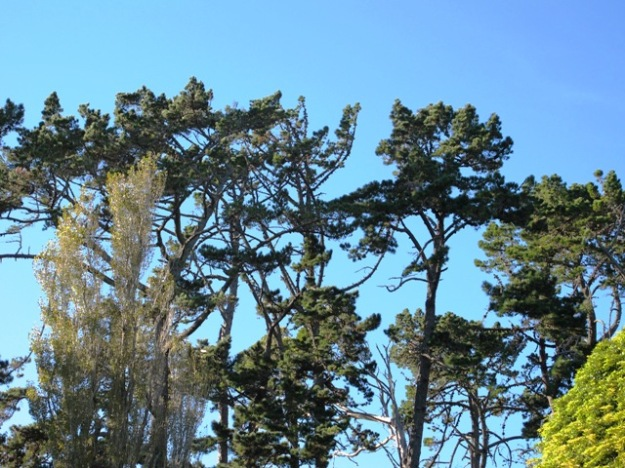 The tops are not things of great splendour, but these Pinus radiata are now over 140 years old