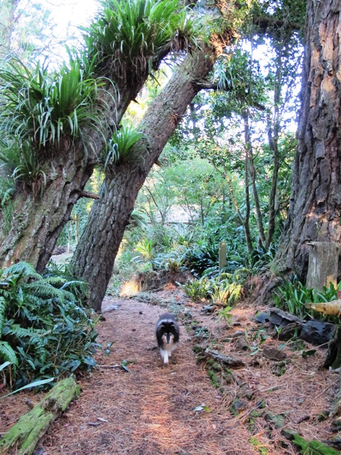 Zephyr the dog photobombs yet another garden shot - the leaning trunks of the old pines